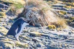 Rockhopper-Pinguin auf Felsen in der Kolonie Lizenzfreie Stockbilder