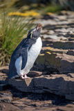 Rockhopper-Pinguin, der in der Kolonie nennt Lizenzfreie Stockbilder