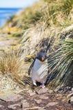 Rockhopper-Pinguin, der durch Gras in der Kolonie kommt Lizenzfreies Stockfoto