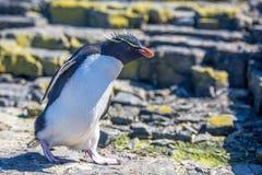 Rockhopper-Pinguin, der in Kolonie geht Stockbild