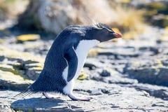Rockhopper-Pinguin, der in Kolonie schreitet Stockbilder