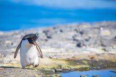 Rockhopper-Pinguin durch Felsen-Pool auf die Klippenoberseite Lizenzfreie Stockfotos