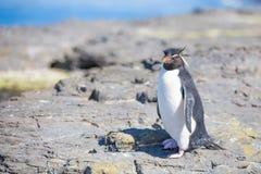 Rockhopper-Pinguin (Eudyptes chrysocome) auf Felsen in der Kolonie Lizenzfreies Stockfoto