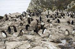 ROCKHOPPER-PINGUIN-KOLONIE Lizenzfreies Stockbild