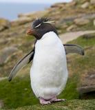 Rockhopper Pinguin mit Flügeln öffnen sich Stockfotos