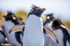 Rockhopper-Pinguin mit Flügeln öffnen sich in der Kolonie Lizenzfreie Stockfotografie
