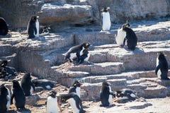 Rockhopper-Pinguine, die in der Kolonie verbinden Lizenzfreies Stockbild