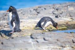 Rockhopper-Pinguine durch Felsenpool in der Kolonie Stockfotos