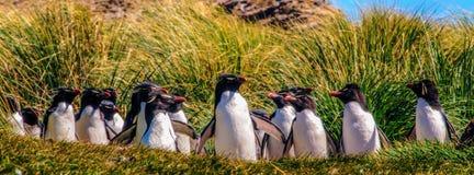 Rockhopper pingvin arkivbilder
