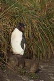 Rockhopper pingvin på mer blek ö arkivbilder
