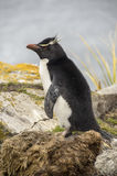 ROCKHOPPER pingwinów BOCZNY widok Obrazy Stock