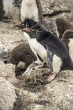 ROCKHOPPER pingwinów BOCZNY widok Zdjęcia Stock