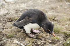 ROCKHOPPER pingwin Fotografia Stock