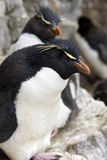 Rockhopper Pingwin - Falkland Wyspy Fotografia Stock