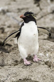 Rockhopper pingwinu Eudyptes chrysocome Fotografia Royalty Free