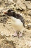 ROCKHOPPER pingwinu FALKLAND wyspy Zdjęcia Royalty Free