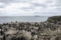 ROCKHOPPER pingwinu koloni FALKLAND wyspy Zdjęcia Stock