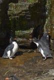 Rockhopper pingwinu prysznic Falkland wyspy Zdjęcia Stock