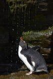 Rockhopper pingwinu prysznic Falkland wyspy Obrazy Royalty Free