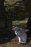Rockhopper pingwinu prysznic Falkland wyspy Fotografia Stock