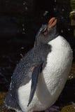 Rockhopper pingwinu prysznic Falkland wyspy Zdjęcie Royalty Free