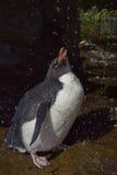 Rockhopper pingwinu prysznic Falkland wyspy Zdjęcie Stock