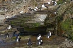 Rockhopper pingwinu prysznic Falkland wyspy Obraz Stock