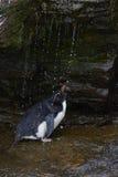Rockhopper pingwinu prysznic - Falkland wyspy Zdjęcie Royalty Free