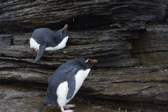 Rockhopper pingwinu prysznic - Falkland wyspy Obrazy Stock