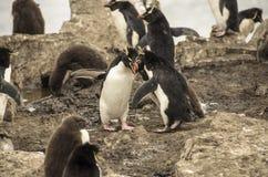ROCKHOPPER pingwinu walka Zdjęcia Royalty Free