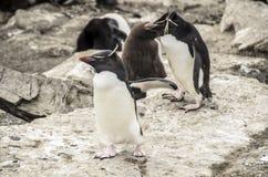 ROCKHOPPER pingwiny Zdjęcia Royalty Free