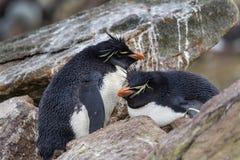 Rockhopper pingwiny ochrania ich gniazdeczko Fotografia Stock
