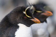 Rockhopper - Side View. A close-up of two Rockhopper Penguins - Falklands Royalty Free Stock Photo