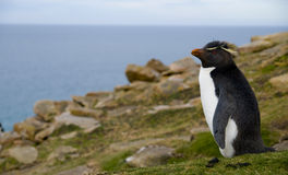 Rockhopper Staring at the Ocean. A Rockhopper Penguin gazing out over the ocean from a grassy hillside - Falklands Stock Image