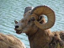 Rockies Bighorn Sheep Royalty Free Stock Images