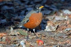 Rockin Robin royalty-vrije stock afbeeldingen