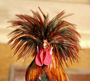 Rockin Rooster Stock Photography