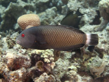 Rockmover wrasse Obrazy Royalty Free