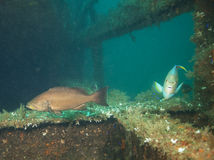 Rockowa łania & Błękitny Angelfish - Dupont Bridgespan Obrazy Stock