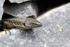 Rockowa jaszczurka przyglądająca out Obraz Royalty Free