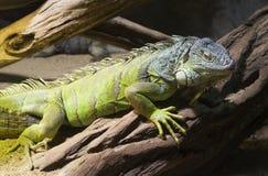 Rockowa Kubańczyk iguana Obrazy Royalty Free