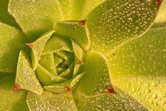 rockowe róże Fotografia Stock
