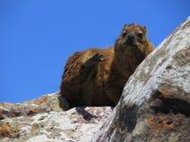 Rockowego góralka obsiadanie na falezie blisko oceanu obraz royalty free