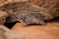 Rockowego góralka Procavia capensis iść swój nory lair w s obrazy stock