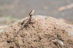 Rockowy Agama na kamieniu Fotografia Stock