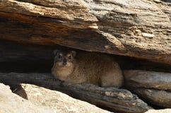 Rockowy daman, Namibia, Afryka Zdjęcia Stock