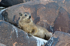 Rockowy daman, Namibia, Afryka Zdjęcie Royalty Free
