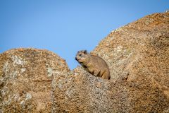 Rockowy dassie obsiadanie na skale Zdjęcie Stock