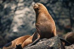 rockowy foki sunbath zabranie Obrazy Royalty Free
