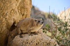 Rockowy góralek, Ein Gedi park narodowy, Izrael obraz stock